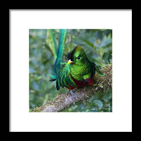 Bird Framed Print featuring the photograph Quetzal by Heiko Koehrer-Wagner