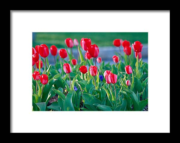 Nature Up Close Framed Print featuring the photograph Red Tulips by Ann Murphy