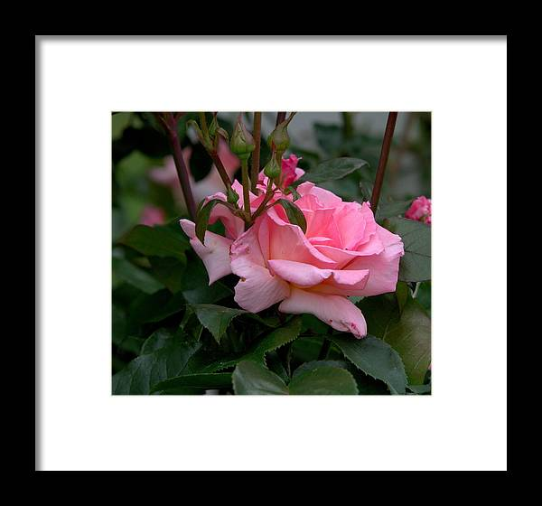 Rose Of Summer Framed Print featuring the photograph Rose Of Summer by Edward Kocienski