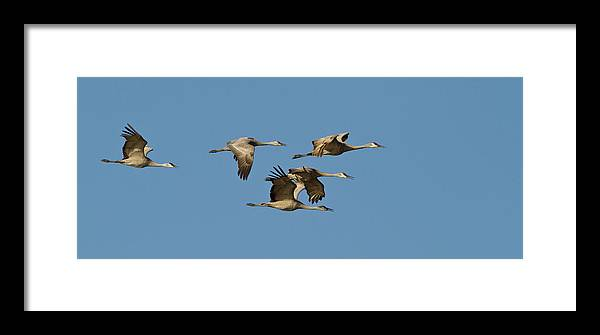 Avian Framed Print featuring the photograph Sandhill Cranes (grus Canadensis by William Sutton