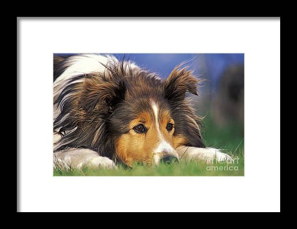 Dog Framed Print featuring the photograph Shetland Sheepdog by Rolf Kopfle