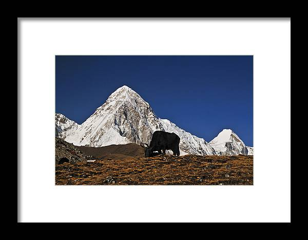 Himalayas Framed Print featuring the photograph Yaks Grazing In A Himalayan Valley by Mark Rasmussen