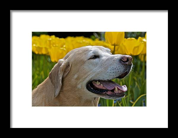 Labrador Framed Print featuring the photograph Yellow Labrador by Steven Lapkin