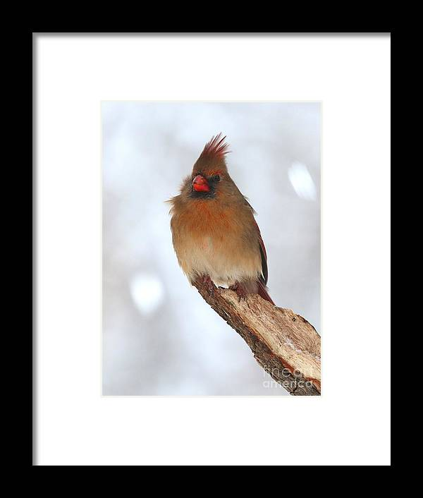 Nature Framed Print featuring the photograph Northern Cardinal by Jack R Brock