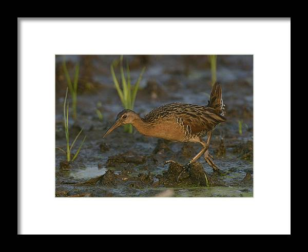 Native Framed Print featuring the photograph King Rail In A Wetland by Mark Wallner