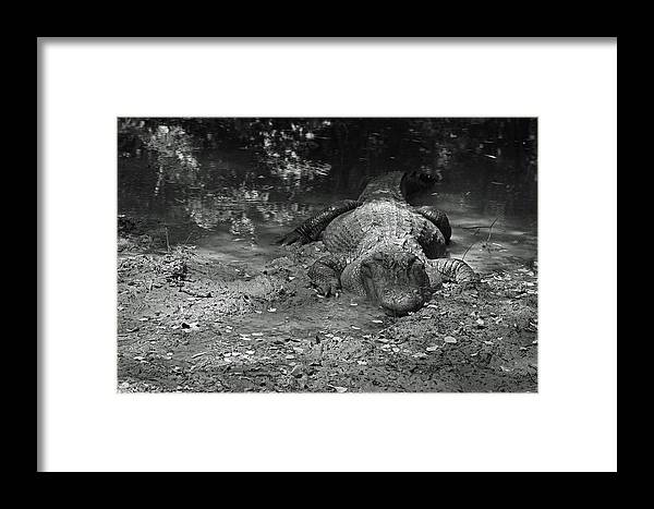 Alligator Framed Print featuring the photograph Alligator by Ronald Olivier