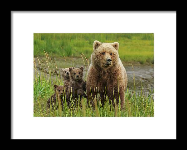 Brown Bear Framed Print featuring the photograph Brown Bear Sow And Cubs, Lake Clark by Mint Images/ Art Wolfe