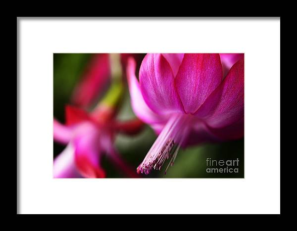 Christmas Cactus Framed Print featuring the photograph Christmas Cactus In Bloom by Thomas R Fletcher