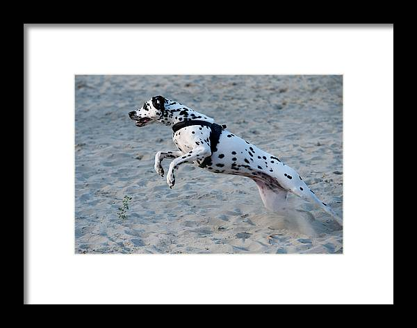 Dalmation Framed Print featuring the photograph Dalmatian 3 by Martin FF