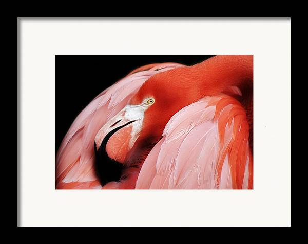 Flamingo Framed Print featuring the photograph Flamingo by Paulette Thomas
