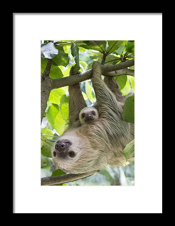 Suzi Eszterhas Framed Print featuring the photograph Hoffmanns Two-toed Sloth And Old Baby by Suzi Eszterhas