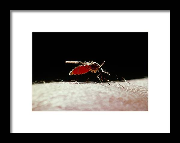 Animal Framed Print featuring the photograph Northern House Mosquito by Perennou Nuridsany