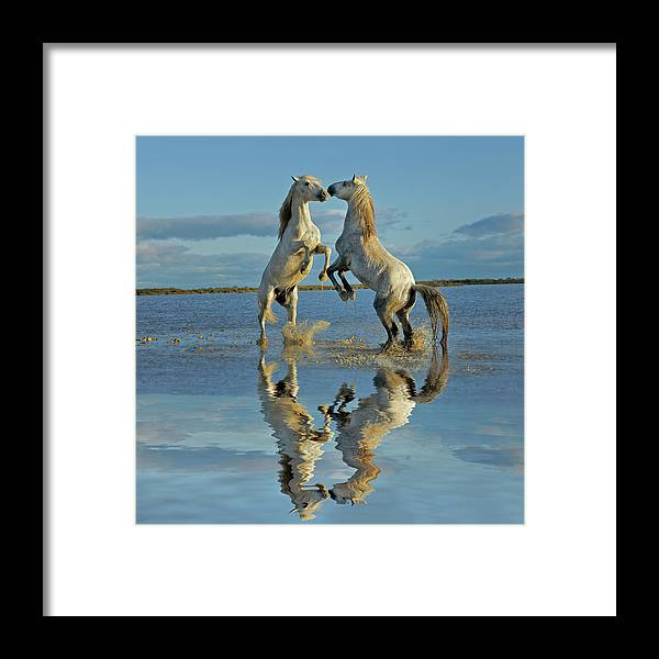 Animals In The Wild Framed Print featuring the photograph Pair Of Camargue Horse Stallions by Adam Jones