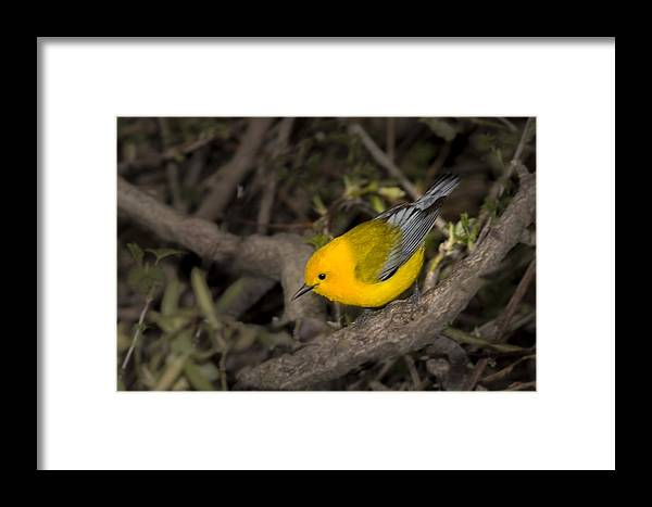 Animal Framed Print featuring the photograph Prothonotary Warbler by Jack R Perry