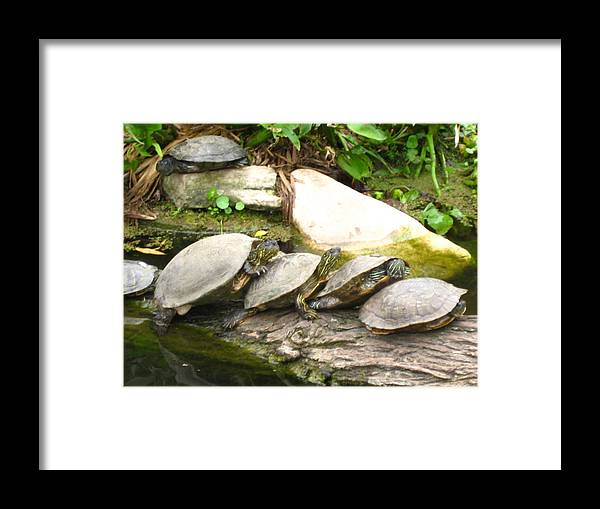 Water Framed Print featuring the photograph 4 Turtles On A Log by Kathy Raee Hansen