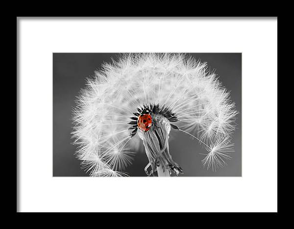 Drops Framed Print featuring the photograph Ladybug by Heike Hultsch