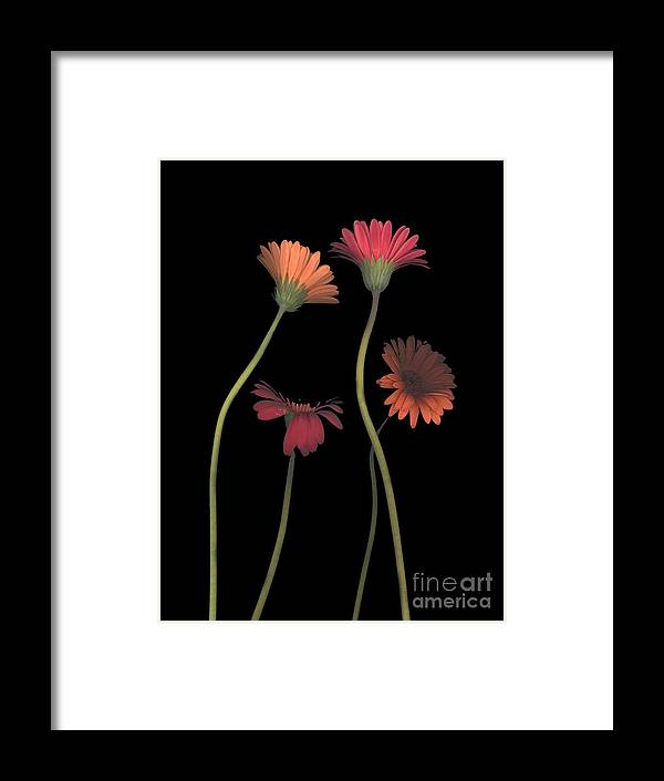 Black Framed Print featuring the photograph 4daisies On Stems by Heather Kirk
