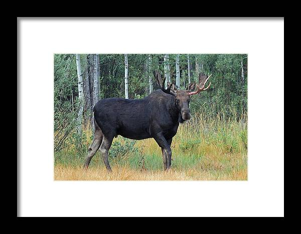 Wildlife Framed Print featuring the photograph Bull Moose by Brian Wartchow