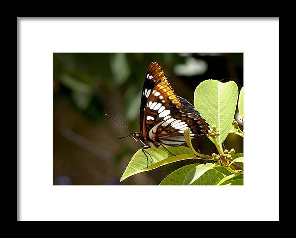 Butterfly Framed Print featuring the photograph Butterfly by Betty Depee