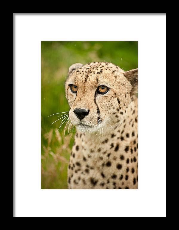 Cat Framed Print featuring the photograph Cheetah Acinonyx Jubatus Big Cat by Matthew Gibson