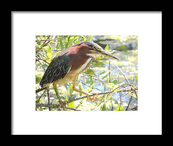 Green Heron Framed Print featuring the photograph Green Heron by Lucy Howard