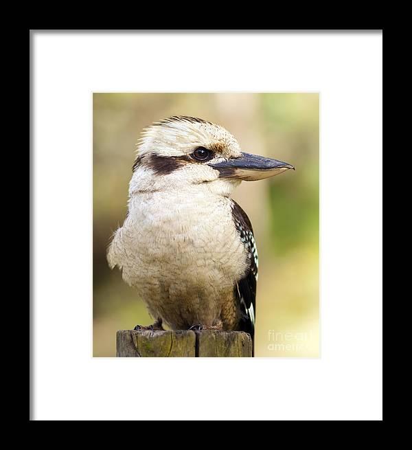 Australia Framed Print featuring the photograph Kookaburra by Tim Hester