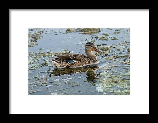 Mallard Duck Framed Print featuring the photograph Mallard Duck by Lori Tordsen
