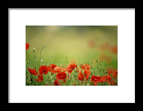 Poppy Framed Print featuring the photograph Poppy Meadow by Nailia Schwarz