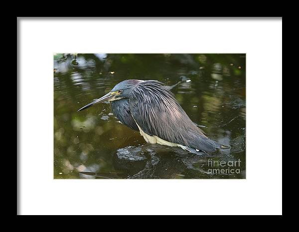 7576 Framed Print featuring the photograph Tri-colored Heron by Ken Keener