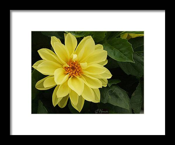 Yellow Dahlia Framed Print featuring the painting Yellow Dahlia by Ellen Henneke