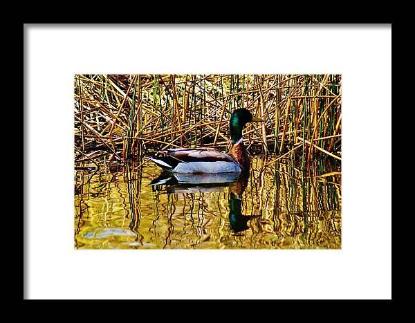 Framed Print featuring the photograph 5.4.2014 Wild Mallard by Daniel Thompson