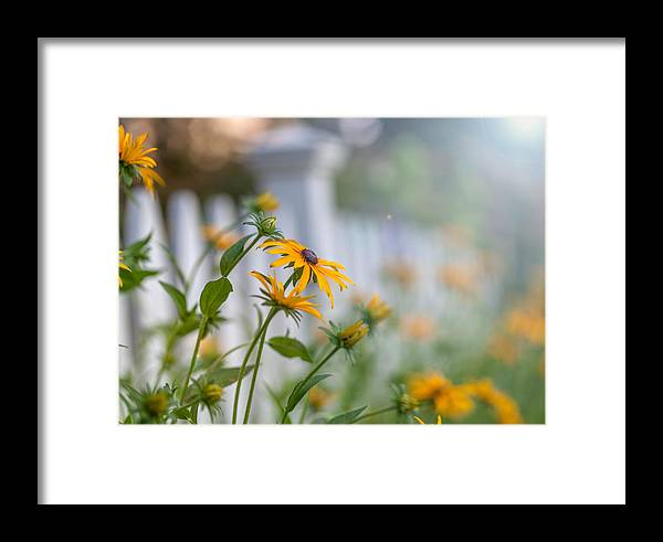 Daisies Framed Print featuring the photograph Black Eyed Susans by June Marie Sobrito