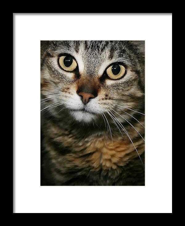 Tabby Framed Print featuring the photograph Brown Tabby by Joyce Baldassarre