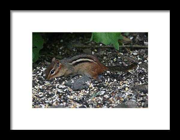 Chippie Framed Print featuring the photograph Chipmunk by Ken Keener
