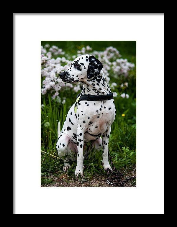 Dalmation Framed Print featuring the photograph Dalmatian by Martin FF