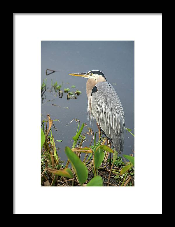Standing Water Framed Print featuring the photograph Great Blue Heron by Mark Newman