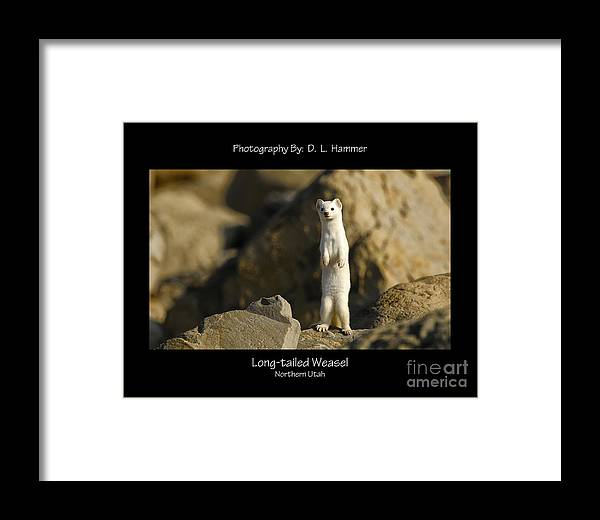 Wildlife Framed Print featuring the photograph Long-tailed Weasel by Dennis Hammer