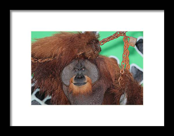 Animal Framed Print featuring the photograph Portrait Of A Large Male Orangutan by Paul Fell