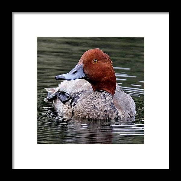 Duck Framed Print featuring the photograph Redhead Duck by Ira Runyan