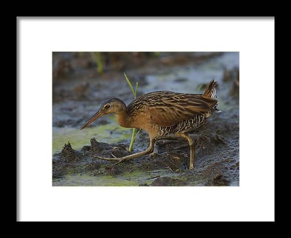 Wetland Framed Print featuring the photograph King Rail In A Wetland by Mark Wallner