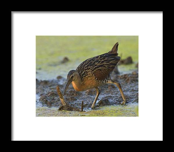 Feeding Framed Print featuring the photograph King Rail In A Wetland by Mark Wallner
