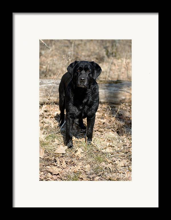 Black Lab Framed Print featuring the photograph Black Labrador Retriever by Linda Freshwaters Arndt