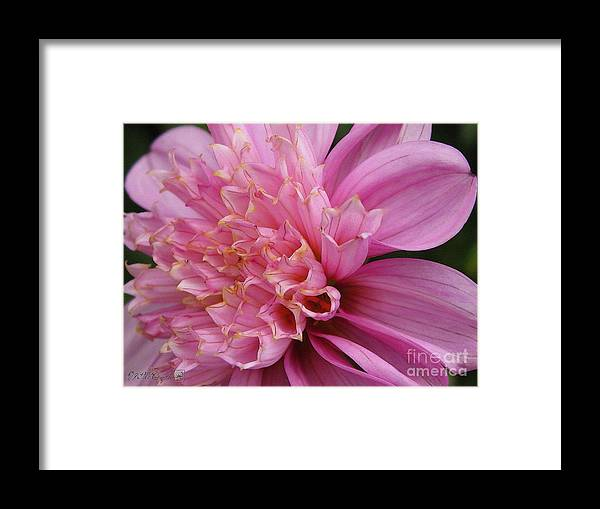 Dahlia Framed Print featuring the painting Dahlia Named Siemen Doorenbosch by J McCombie