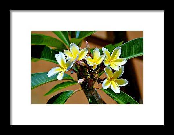 Close Up; Frangipani; Blossom; Sunlight; Tree; White; Yellow; Garden; Decorativ; Detail; Background; Nature; Exotic; Framed Print featuring the photograph Frangipani Blossom by Werner Lehmann