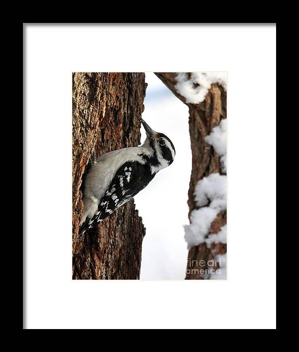 Nature Framed Print featuring the photograph Hairy Woodpecker by Jack R Brock