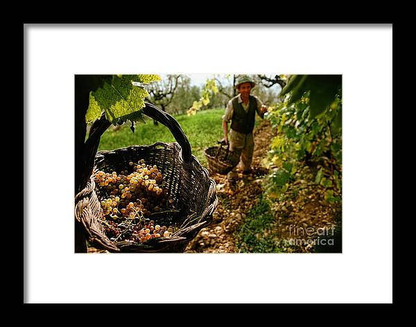 Alcohol Framed Print featuring the photograph Harvesting In A Vineyard by Indian Summer