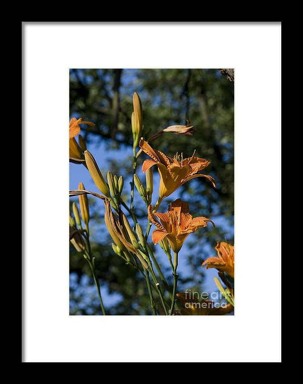 Lily Framed Print featuring the photograph Orange Lily by Sarka Olehlova