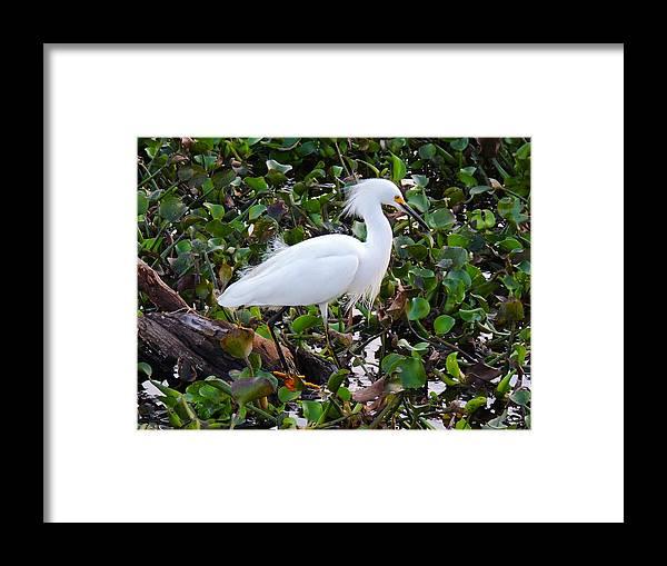 Bird Framed Print featuring the photograph Snowy Egret by Lindy Pollard