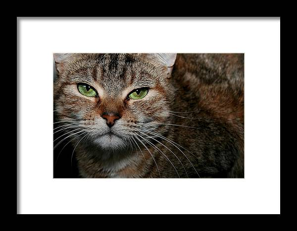 Brown Tabby Framed Print featuring the photograph Tabby by Joyce Baldassarre