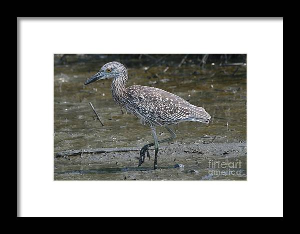 Juvenile Framed Print featuring the photograph Yellow -crowned Night Heron by Ken Keener